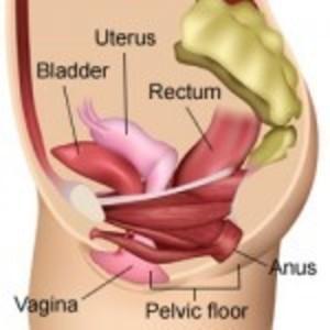 Pelvic floor anatomy