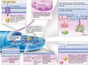 Factors that affect mitochondrial vulnerability to environmental toxicants
