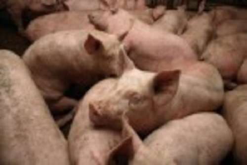 Commercial pig farms