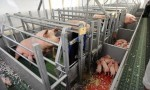 Antibiotic resistant bacteria in commercial farmed pigs