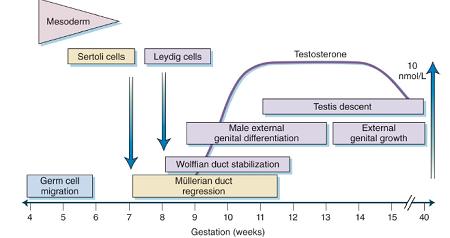 male genital development