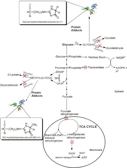 glyoxal pathways