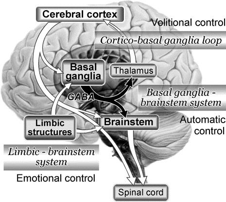 brainstem basal ganglia
