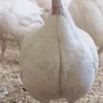 turkey breasts